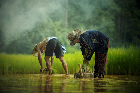 Planting rice-farmers pulling seedlings to be planted in the field. Stock Photo