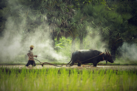 plowing: Farmer plowing with water buffalo in Thailand Stock Photo