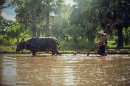 arando: Granjero que ara con el búfalo de agua en Tailandia