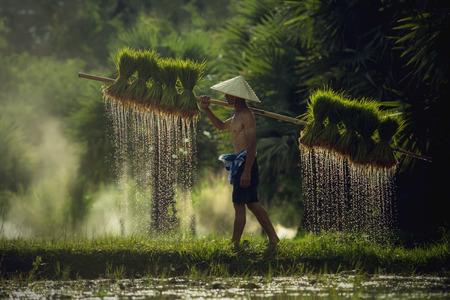 タイ稲作農家で苗を運ぶ農民
