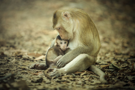 Mother of the newborn monkey which is held in the arms and breastfeeding. Stock Photo