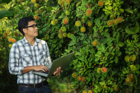 quality check: Farmers attractive young man with a laptop stand in the fruit garden, The quality check, rambutan