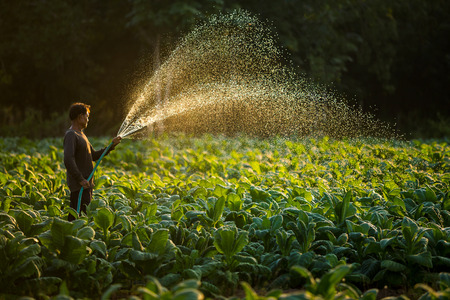 농부들은 태국에서 자란 담배를 재배하면서 담배를 재배하고있었습니다. 스톡 콘텐츠 - 75090627