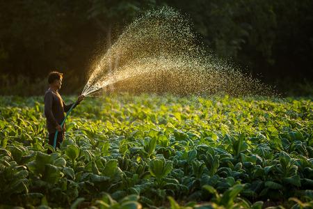 Boeren kweken tabak in een omgekeerde tabaksproductie in Thailand, Thailand.