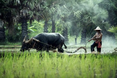 タイでバッファローと稲作 写真素材