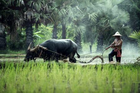 Rice farming with buffalo in thailand Stock Photo