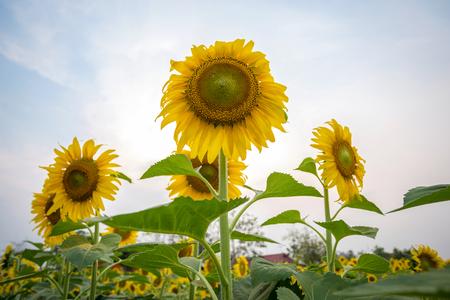 해바라기 정원입니다. 해바라기는 건강 혜택이 풍부합니다. 태양