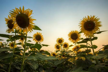 regeneration: Sunflower natural background, Sunflower blooming, Sunflower oil improves skin health and promote cell regeneration, Thailand