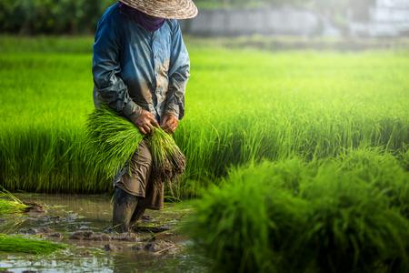 Boeren verbouwen rijst in het regenseizoen. Ze waren doorweekt van water en modder om voorbereid te zijn voor aanplant. Landbouwer in Thailand.