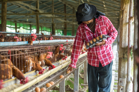 Farmers collect eggs in chicken farms. Banque d'images