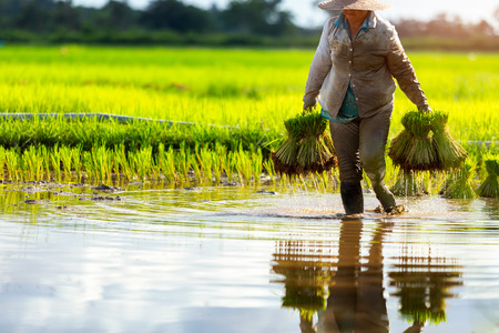 Asian farmers grow rice in the rainy season. They were soaked with water and mud to be prepared for planting. Farmer in thailand. Zdjęcie Seryjne