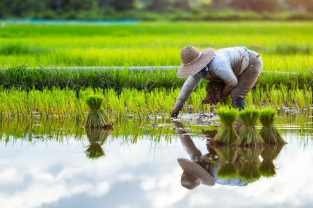Asian farmers grow rice in the rainy season. They were soaked with water and mud to be prepared for planting. Farmer in thailand. Stock Photo
