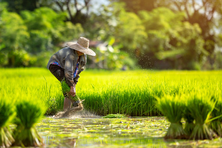 Asian farmers grow rice in the rainy season. They were soaked with water and mud to be prepared for planting. Farmer in thailand. 写真素材