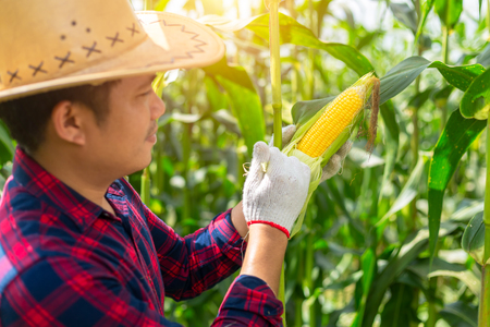 Asian farmer inspecting corn cob at his field.