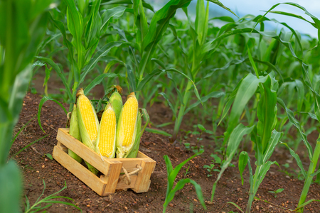 Fresh corn in a wooden box on a plowed corn plant.