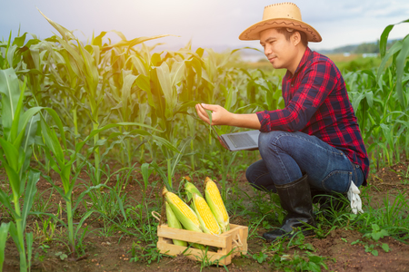 Farmer checks the quality of corn in his farm with a quality control program of corn with a computer. 写真素材