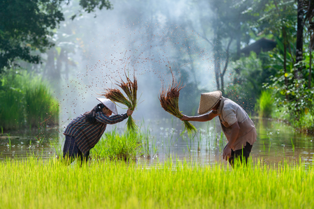 Asian farmer transplant rice seedlings in rice field, Farmer planting rice in the rainy season. Stockfoto