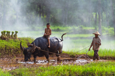 Asian farmer working with his buffalo, farmer thailand.