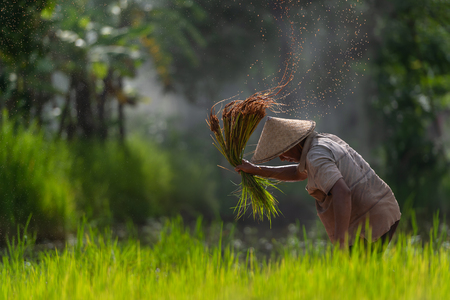 Asian farmer transplant rice seedlings in rice field, Farmer planting rice in the rainy season. Reklamní fotografie