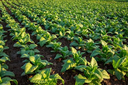 Tabakfeld, Tabakgroße Blattkulturen, die im Tabakplantagenfeld wachsen.