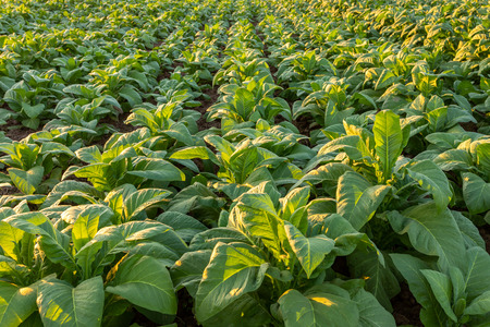 Tobacco field, Tobacco big leaf crops growing in tobacco plantation field. Imagens