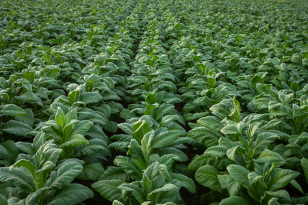 Tobacco field, Tobacco big leaf crops growing in tobacco plantation field. Stock fotó