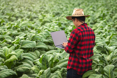 Farmer man with laptop standing on field tobacco, Concept of examining the growth of tobacco.