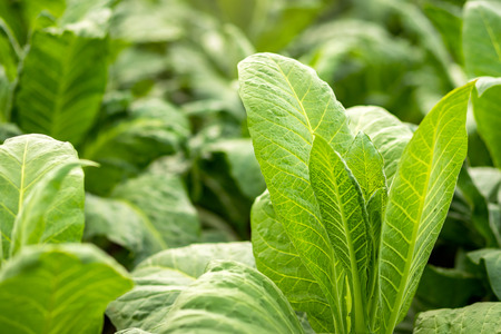 Green leaf tobacco in a blurred tobacco field background, tobacco thailand.