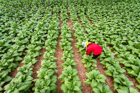 Asian farmers were growing tobacco in a converted tobacco growing in the country, thailand