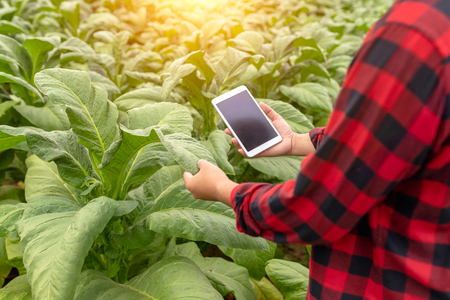 Asian farmer man Examining the quality of tobacco farms by farmers using modern agricultural technology, tablet in thailand. Stock Photo