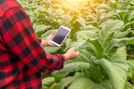 Asian farmer man Examining the quality of tobacco farms by farmers using modern agricultural technology, tablet in thailand. Stock fotó