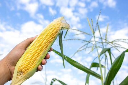 Farmers hold organic sweet corn by offering complete fresh corn.