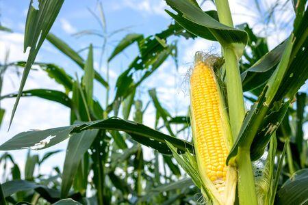 Primer plano de maíz en el tallo en el campo de maíz, agricultura orgánica, tierras agrícolas. Foto de archivo