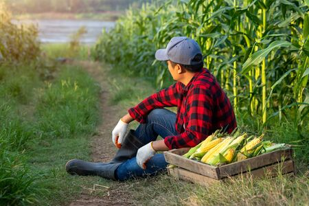 Farmers sit to relax the fatigue beside the wooden crates with organic sweet corn in the corn fields.
