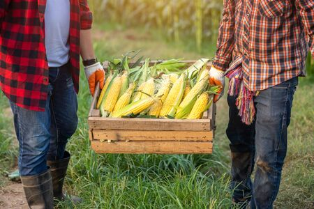 The farmer helped to raise the crates containing sweet corn harvested in the corn fields. Farmers harvest sweet corn  in the corn fields, Corn Organic farming. Banco de Imagens