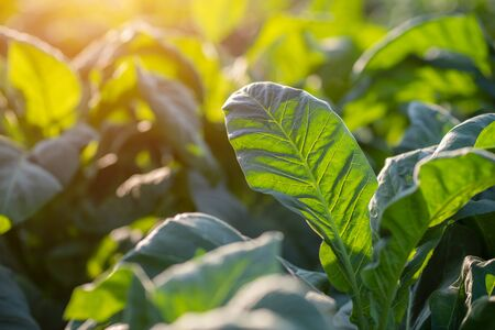 [Green leaf tobacco] Green leaf tobacco in a blurred tobacco field background.