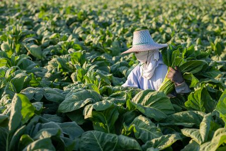 [Farmers in tobacco] Farmers were growing tobacco in a converted tobacco growing in the country, thailand.