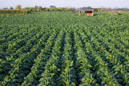 [Tobacco Thailand] View of young green tobacco plant in field at Nongkhai of Thailand. Reklamní fotografie