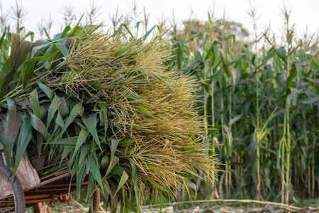 Corn harvest, corn forage harvester in farm. Stock fotó