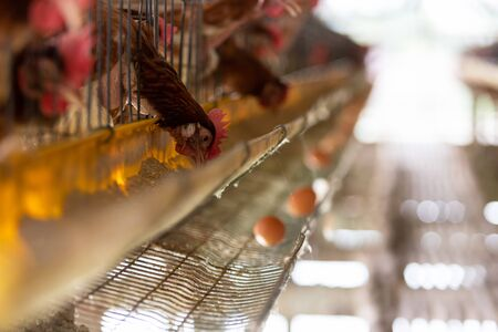 chicken farm, production of Chicken for eggs,Eggs in tray. chickens eating food.