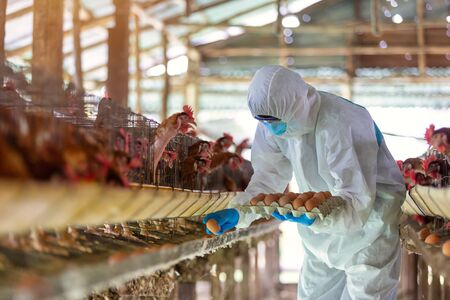 Asian farmer wear PPE suit protective clothing to spread the corona virus and collect fresh eggs in hands in Eggs chicken farm. Фото со стока