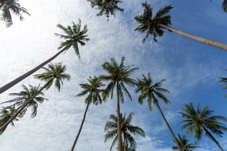 Coconut palm trees perspective view, Beautiful coconut palm trees farm in Koh Chang island Thailand Imagens