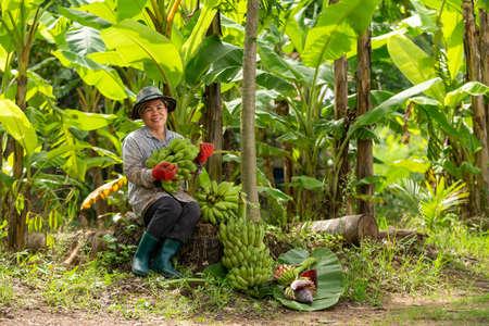 Asian woman farmer bearing green banana in farm. Agriculture concept.