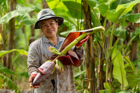 Asian woman farmer bearing banana Cabbage in farm. Agriculture concept.
