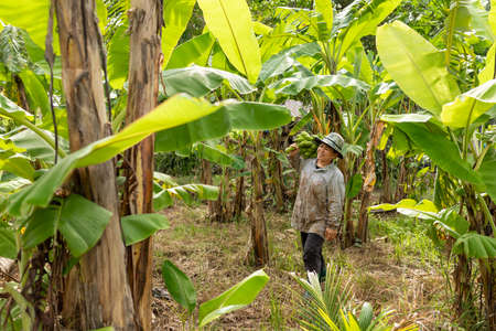 Asian woman farmer holding green banana on farmland.