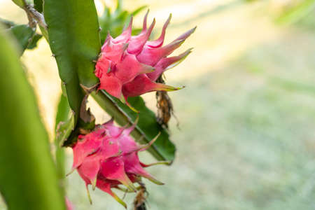 Red dragon fruit on plant, A pitaya or pitahaya is the fruit of several cactus species indigenous, dragon fruit