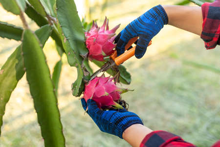close-up hands of farmers harvesting the Dragon fruit, A pitaya or pitahaya is the fruit of several cactus species indigenous.
