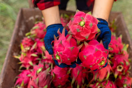 Dragon fruit in hand the farmer,  A pitaya or pitahaya is the fruit of several cactus species indigenous.