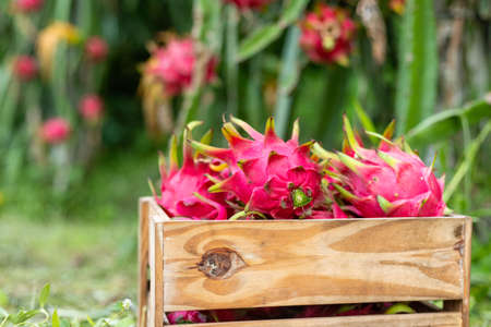 Dragon fruit in a wooden box on plant, A pitaya or pitahaya is the fruit of several cactus species indigenous.