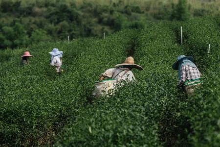 farmer working in the lush fields of a terraced farm.